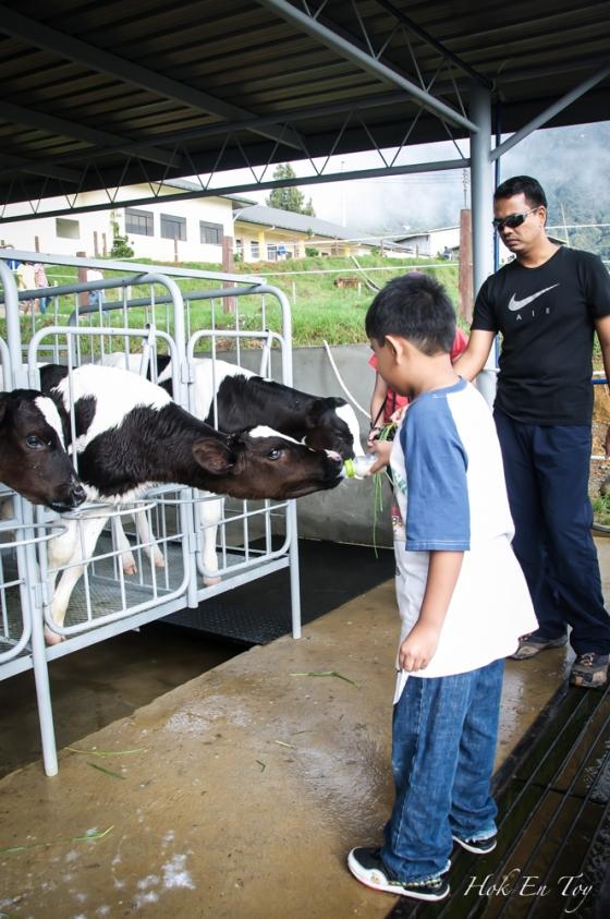 muqris feed cow