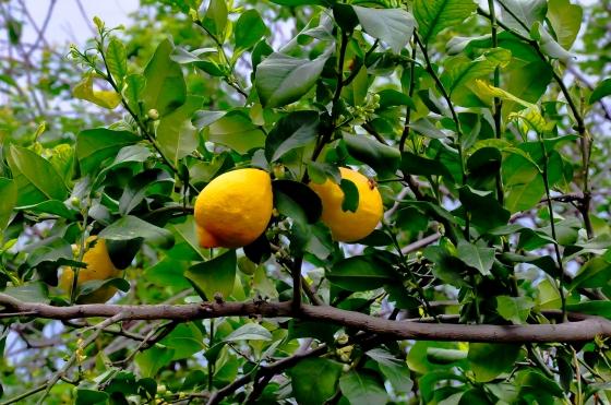 Lemon merata-rata cerok kampung.