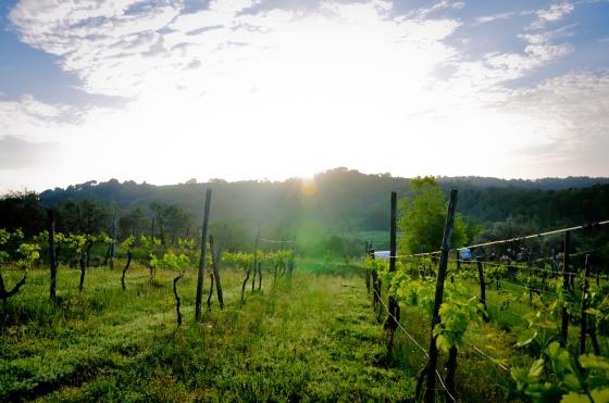 Vineyard di sekeliling rumah