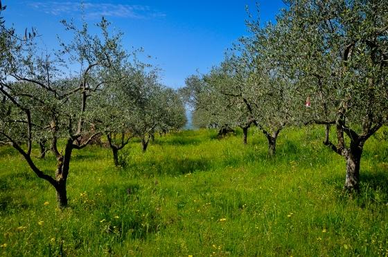 Sebahagian daripada pokok-pokok olive yang berada dikeliling rumah