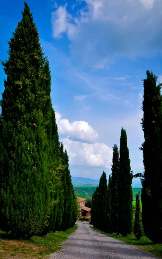 Typical Tuscany. Deretan Cypress trees